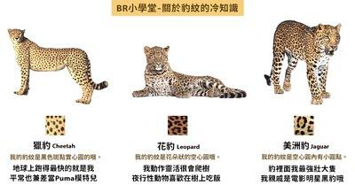 關於豹紋的冷知識,你們知道如何分辨花豹 / 獵豹/ 美洲豹嗎?