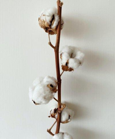 白色頂級有機棉花