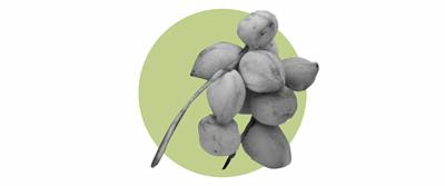 法地欖仁果 Ferdinandiana Fruit
