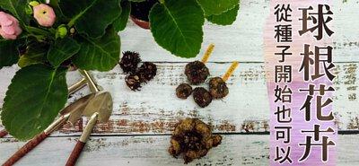 球根花卉從種子開始也可以→大岩桐×陸蓮花×球根海棠