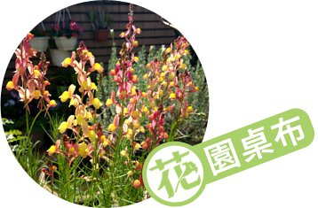 2019年11月桌布:【直上天際】姬金魚草 麗絲雅-蜜桃橙黃