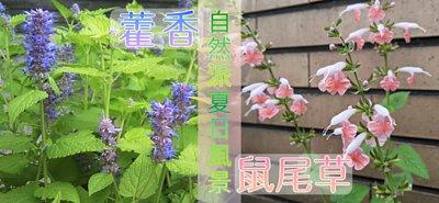 「藿香×鼠尾草」營造自然派的夏日風景