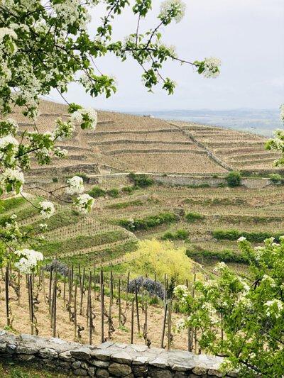 陡峭斜坡葡萄產區