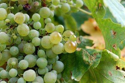 Glera Grape