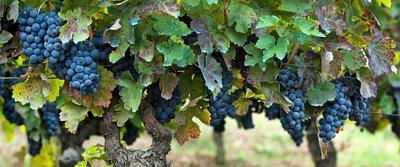 Aglianico Grape