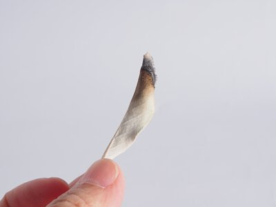 白色鼠尾草