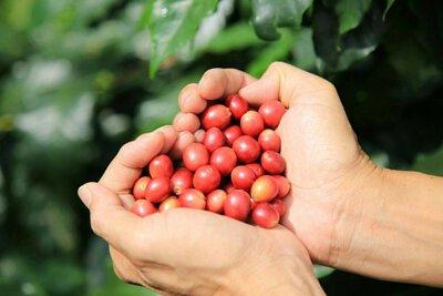 手心上捧著呈愛心狀的咖啡果實,想更進一步認識咖啡嗎?