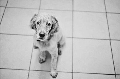 注意寵物的慢性疼痛問題