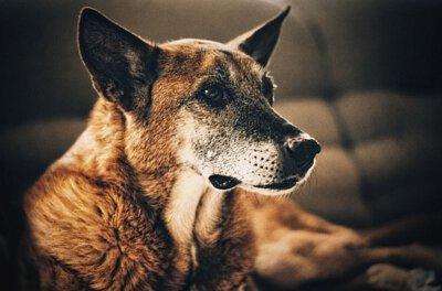 狗貓預防老化,抗氧化,失智症,年紀大