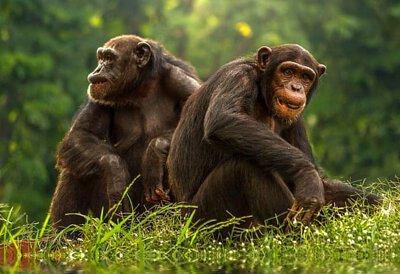 肯亞,非洲,黑猩猩,甜水