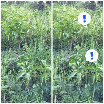 穿山甲自然生態農場,草生栽培,除草劑,自然農法,永續,有機,諾麗果