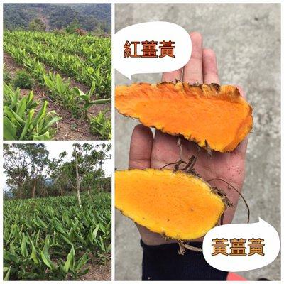 紅薑黃,黃薑黃,薑黃品種,薑黃植物