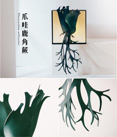 爪哇鹿角蕨外觀、葉子細節特寫