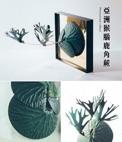亞洲猴腦鹿角蕨外觀、葉子細節特寫