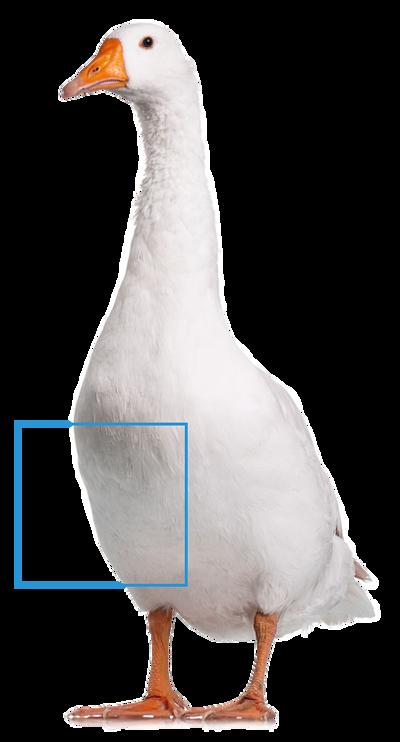 羽絨生長部位及含量