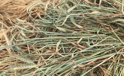 小麥草,WheatHay