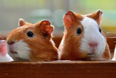 天竺鼠,moonrabbit,穴兔