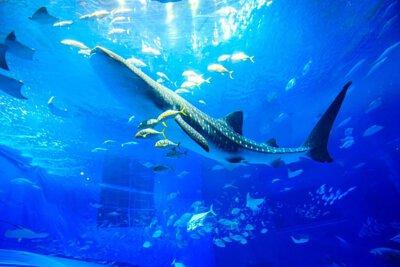 沖繩美麗海水族館的鯨鯊