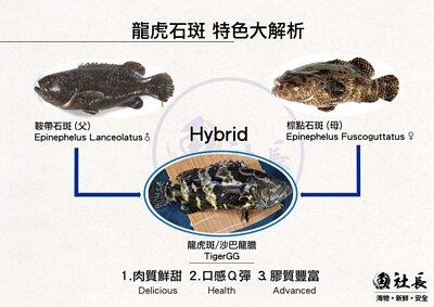 龍虎斑是龍膽石斑與虎斑混種而成