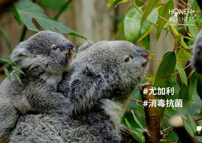尤加利樹葉(Eucalyptus),原來擁有驚人的消毒功效,是一種天然的抗菌劑,主要出產於澳洲的東部。