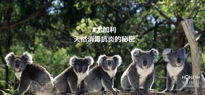 樹熊最喜愛吃的尤加利樹葉(Eucalyptus),原來擁有驚人的消毒功效,是一種天然的抗菌劑,主要出產於澳洲的東部。