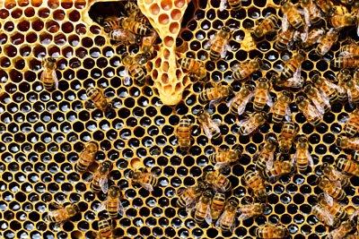 蜂膠經由蜜蜂從大自然中採收, 蜂膠含有大量有機物, 蜂膠包括多種有機酸,可幫助防止各種炎症,還蜂膠被譽為天然抗生素。