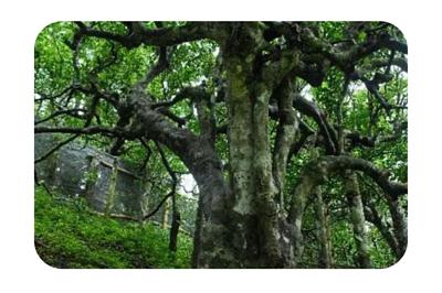 古樹茶野生大樹種生長方式