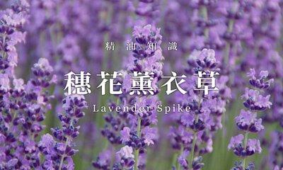穗花薰衣草
