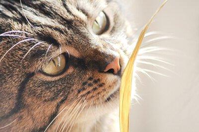 寵物營養:貓吃草 貓需要纖維質