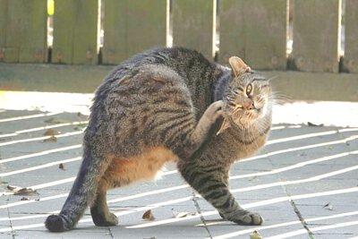 寵物營養:貓吃生食改善過敏