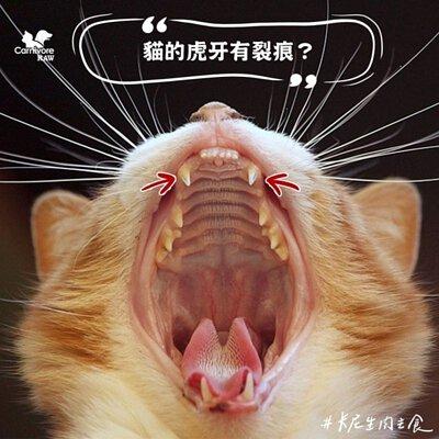 貓虎牙,血槽,bleeding-groove