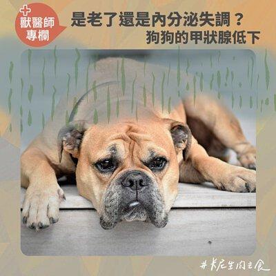 是老了還是內分泌失調?狗狗的甲狀腺低下