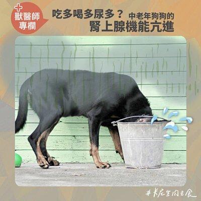吃多喝多尿多?中老年狗狗的腎上腺機能亢進