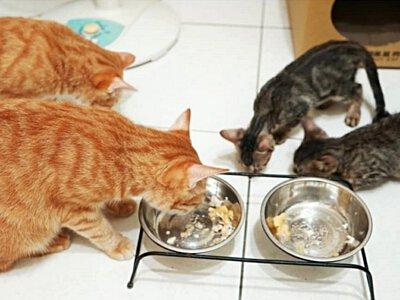 一群貓咪吃卡尼零食