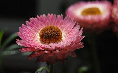 A&G,有機蠟菊,永久花,有機萃取,重生精華