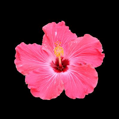 Certified Organic Hibiscus Extract Powder-RARE SkinFuel