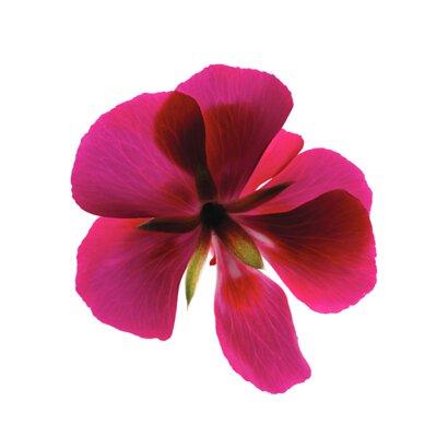 7片桃紅色花瓣,中間有5片細長的綠色花心
