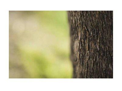 牛樟芝野生、椴木與固態培養取得