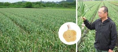 青森縣白六片種蒜, 採用日本最頂級蒜頭 - 青森縣白六片種 嚴格挑選