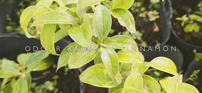 台灣原生種土肉桂特寫,中間寫著土肉桂英文名:Odour-bark cinnamon
