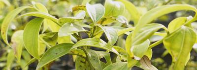 茂密的台灣原生種土肉桂