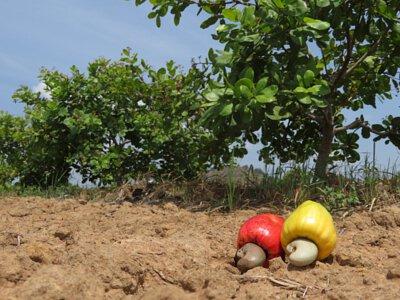 成熟落地的腰果果實