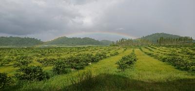 柬埔寨腰果農場