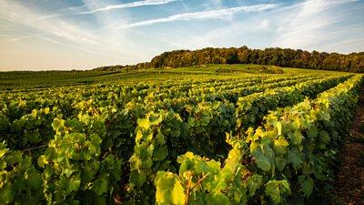 The Laurent Perrier vine
