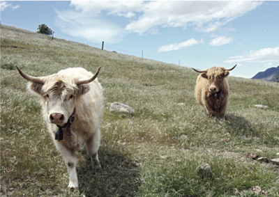 apple-fed cows in New Zealand
